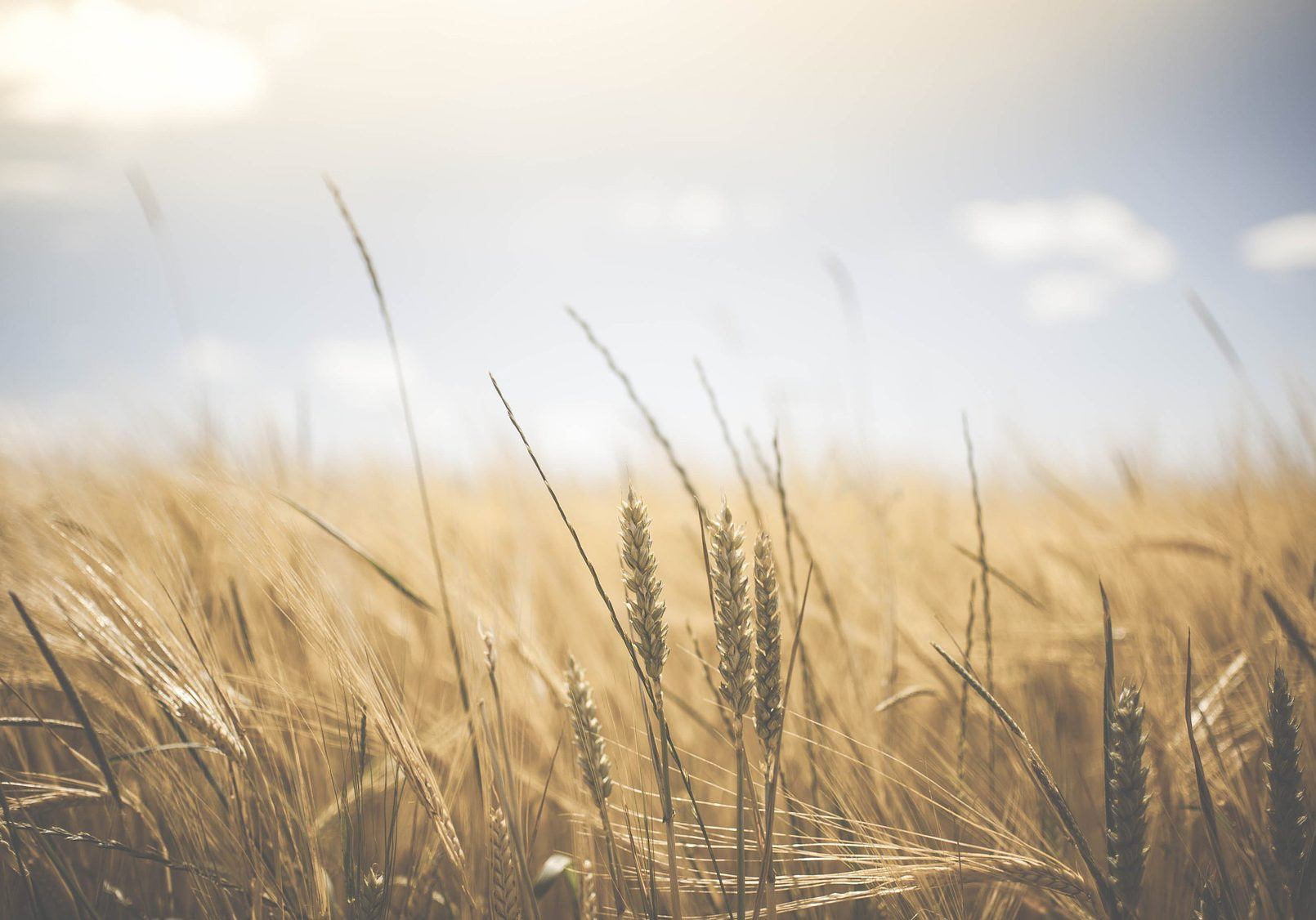agriculture_wheat